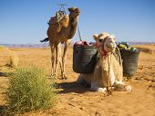 Camels in the Sahara Desert, Morocco poster