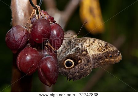 Perched Over Red Grape