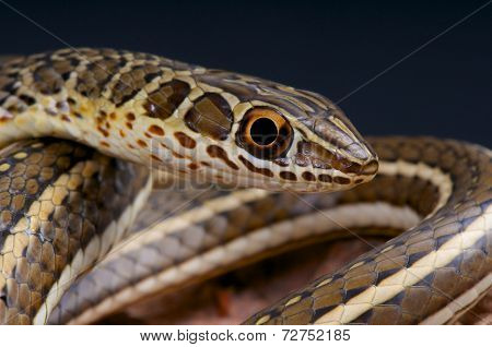 Sand snake / Psammophis sibilans