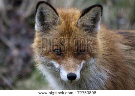fox face