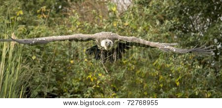 Griffon vulture in flight in the nature. poster