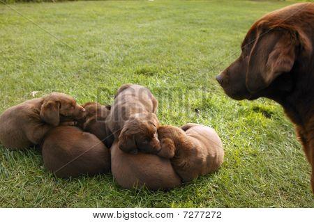 brown Labrador Retriever dog litter of pups poster