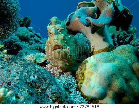 Green Frogfish