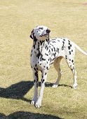 A young beautiful Dalmatian dog standing on the lawn distinctive for its white and black spots on its coat and for being alert active and an intelligent breed. poster