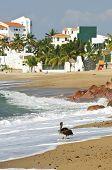 Pelican on Puerto Vallarta beach in Mexico poster