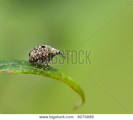 Weevil Cionus hortulanus