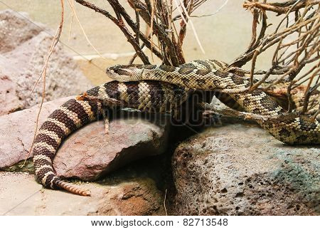 Northern Pacific Rattlesnake Crotalus oreganus rattle snake