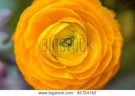 Yellow helichrysum flower
