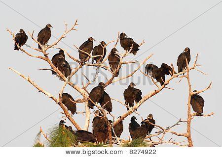 Flock Of Black Vultures