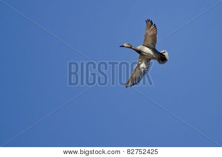 Gadwall Flying In A Blue Sky