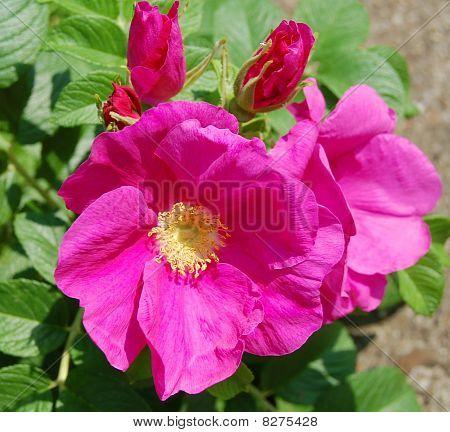 Dog-rose Flowers