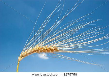 Ripe barley head in front of blue sky