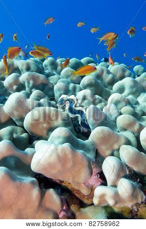 Coral Reef With Porites Corals , Blue Clam And Exotic Fishes Anthias