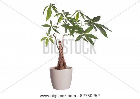 Flower In A Pot  Pachira Aquatica
