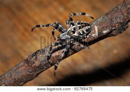 Cross Spider On Twig