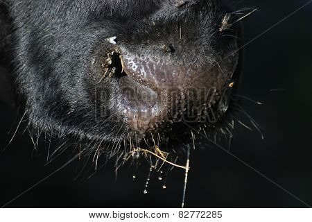 Wet and slimy snout of a cow. poster