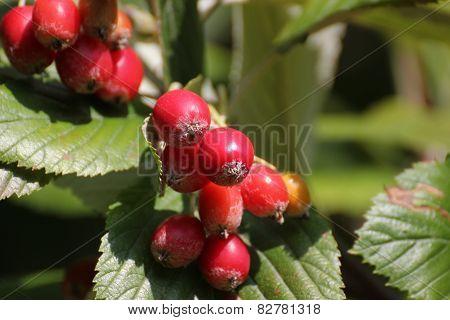 Whitebeam Fruits