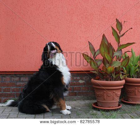 Bernese Mountain Dog Besides Plants