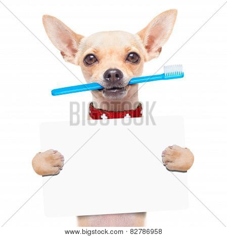 chihuahua dog holding a toothbrush with mouth holding a blank banner or placard isolated on white background poster