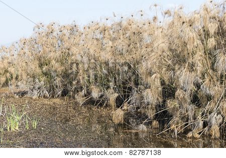 Thicket of Papyrus plant in Galilee.