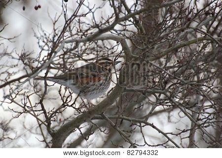 Fieldfare In Winter