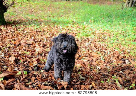 Dog playing in the autumnal woods