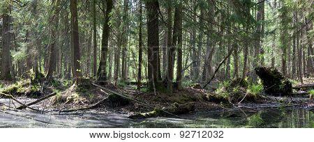 Springtime Alder Bog Forest
