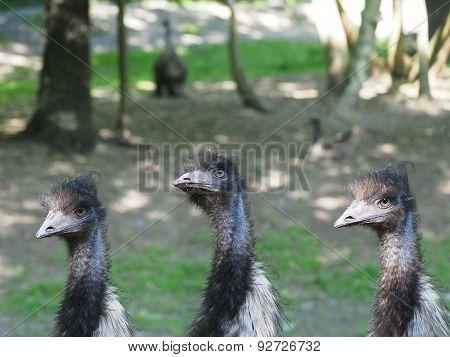 three bird ostrich on a forest background