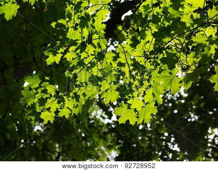 Maple Brunch On Bright Sun