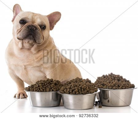 picky eater - french bulldog refusing to eat on white background