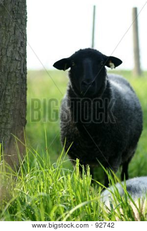 Closeup Of A Sheep Standing Next To A Tree.