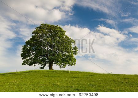 Gallows Hill - Memorial maple tree on the mystic place in Votice Czech Republic poster
