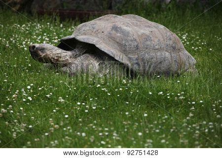 Santa Cruz Galapagos giant tortoise (Chelonoidis nigra porteri).