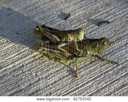 Grasshoppers Copulating