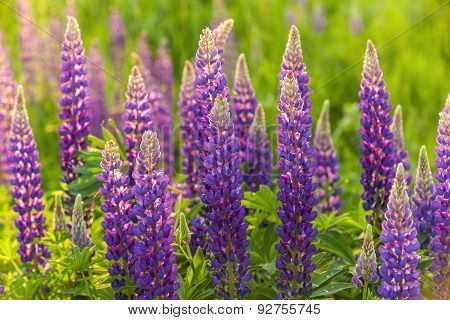 Lupin Flower, Garden Lupin, , pink, garden, wild, purple, bloom, colorful, nature,