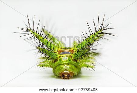Close up face of Stinging nettle slug caterpillar phocoderma velutina moth poster