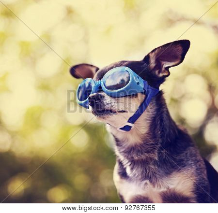 a cute chihuahua wearing goggles and sitting outside during summer time toned with a retro vintage instagram filter effect app or action