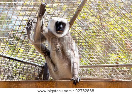 Gray Langurs Or Hanuman Langurs Monkey