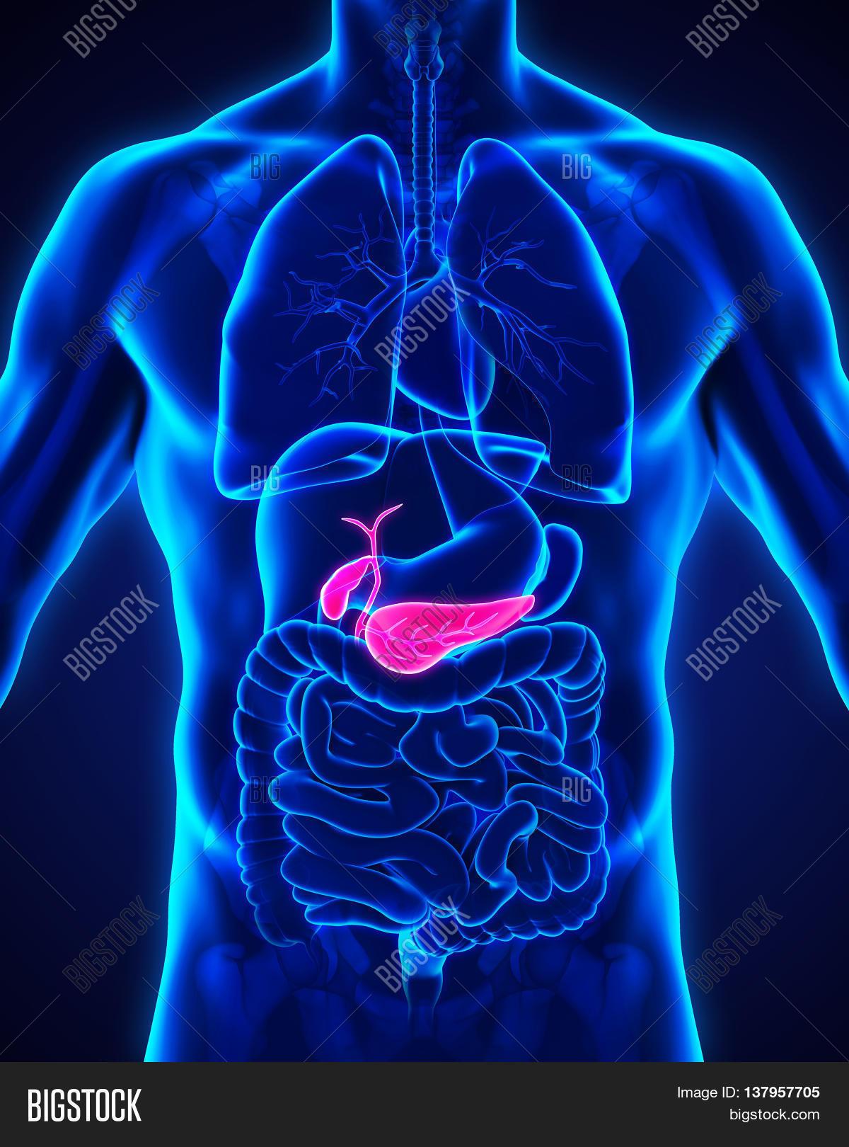 Human Gallbladder Image & Photo (Free Trial) | Bigstock