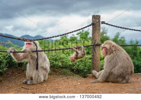Front view of Monkey family playing in Arashiyama mountain, Kyoto
