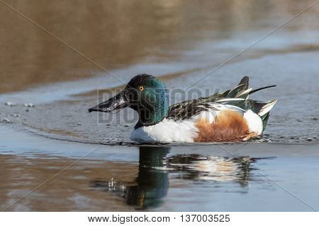 Male Northern Shoveler (Anas clypeata) in full breeding plumage.