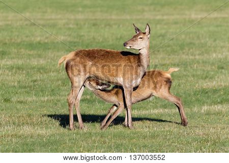 Red Deer calf (Cervus elaphus) suckling from mother.