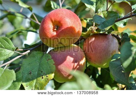 Apples ripen on the trees. Three reddening Apple among Apple leaves.