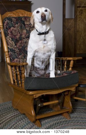 Labrador Retriever On A Chair