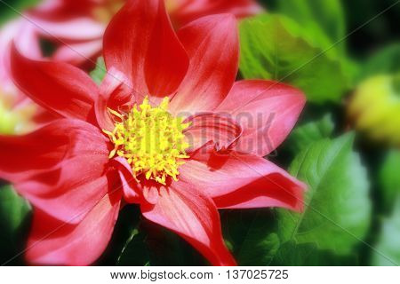 Close up of a Dahlia Flower in bloom