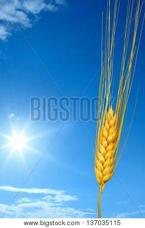close up shot of wheat over sunny blue sky