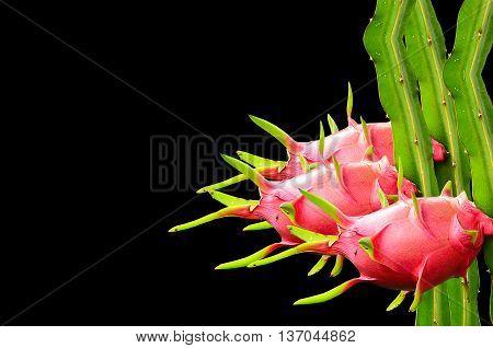 Group dragon fruit isolate on black background
