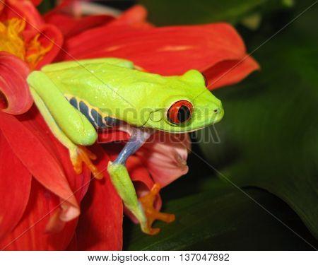 Red eye tree frog sideways view on red flower.