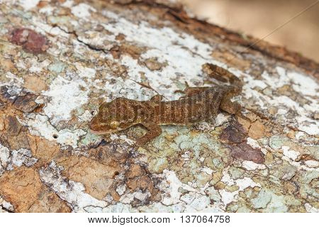Ulber's Gecko In Tropical Forest