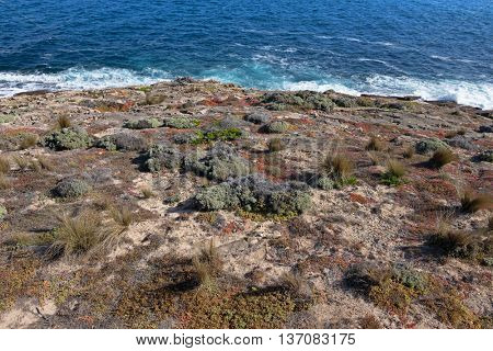 Salt tolerant plants and grass growing on south-west coast, part of Flinders Chase National Park on Kangaroo Island, South Australia